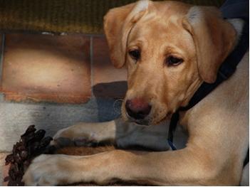 Labrador-Shedding-1