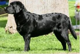 Labrador-Shedding-2