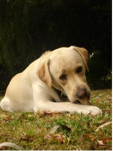 Labrador-Temperament-1