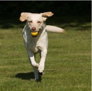Labrador-Training-Tips-3