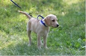 Labrador-Obedience-2