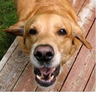 Labrador-Biting-1