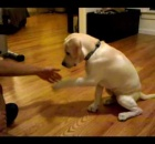 Labrador Puppy Training – The Right Way