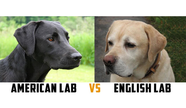 Major Differences Between These Labrador Types - Labrador ...