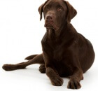 simon-labrador-hearing-dog-300x300