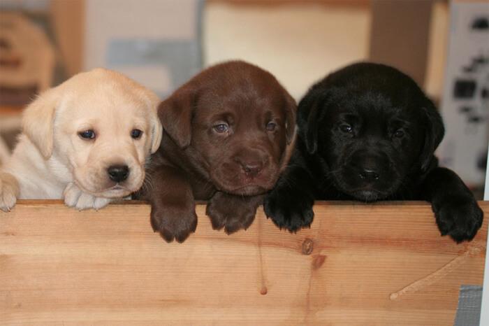 Labrador pups jolanda bruins
