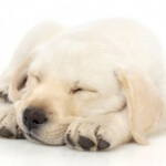 yellow-lab-pup-300x231