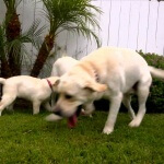 Is Labrador Retriever The Best Dog Breed For You?