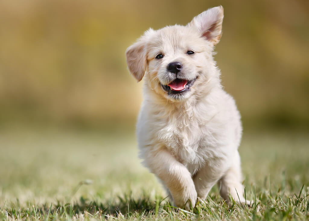 Quick Tips Guide For Effectively Training Your Golden Retriever Puppies