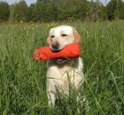 yellow-labrador-retriever-742846_960_720